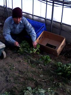 小松菜の出荷始まりました。